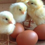 The Yolk of the Matter: How Ethical Are Your Eggs?